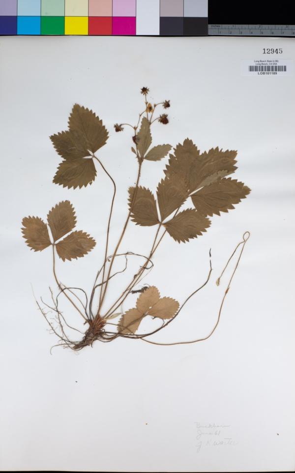 Rosaceae image