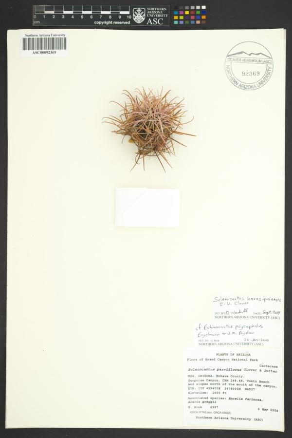 Sclerocactus havasupaiensis image