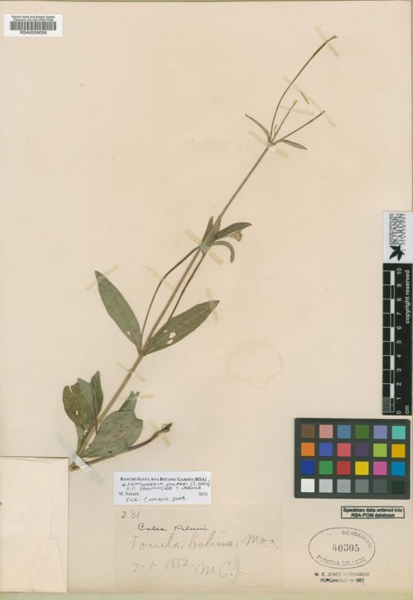 Alloispermum palmeri image