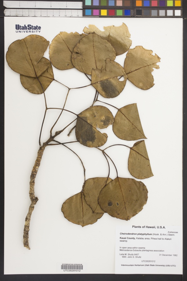 Cheirodendron platyphyllum image