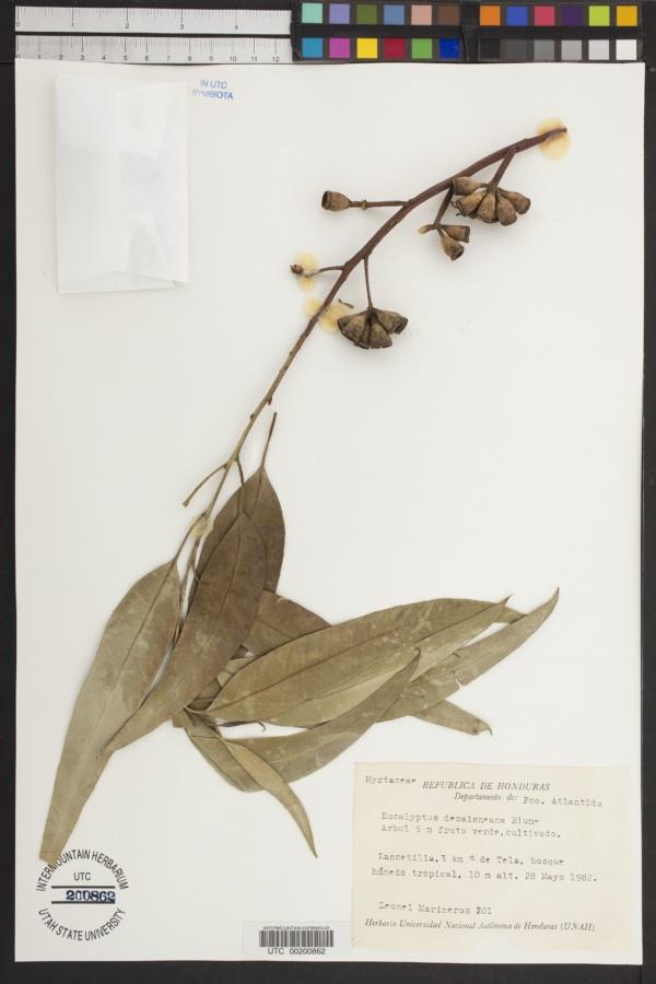 Eucalyptus decaisneana image