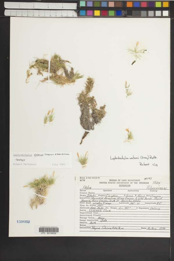 Leptodactylon glabrum image