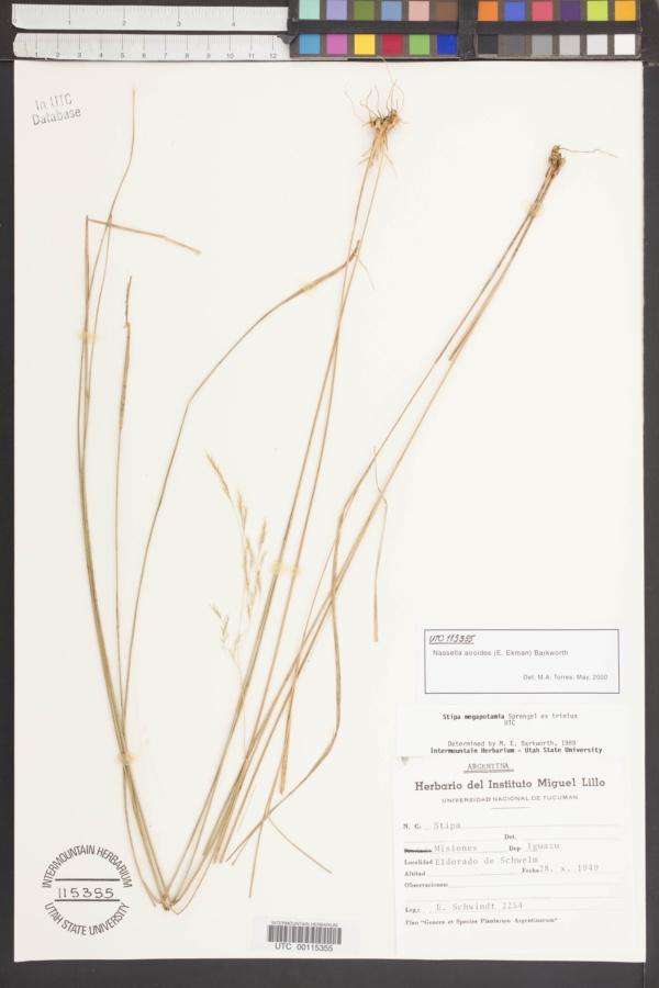 Nassella airoides image
