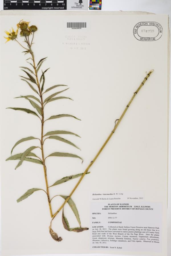 Helianthus intermedius image