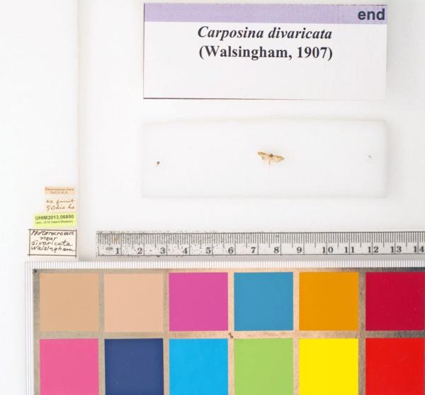 Carposinidae image