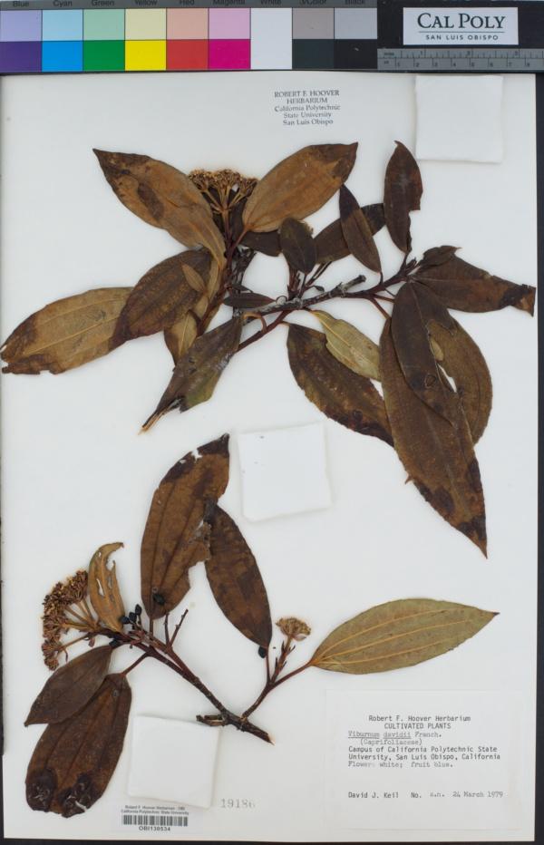 Viburnum davidii image
