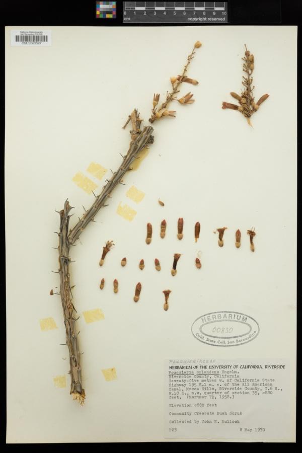 Fouquieriaceae image