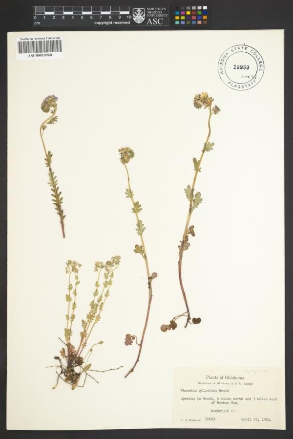 Phacelia gilioides image