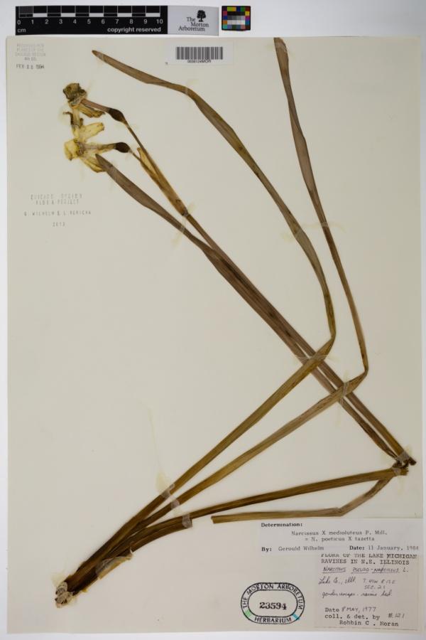Narcissus medioluteus image