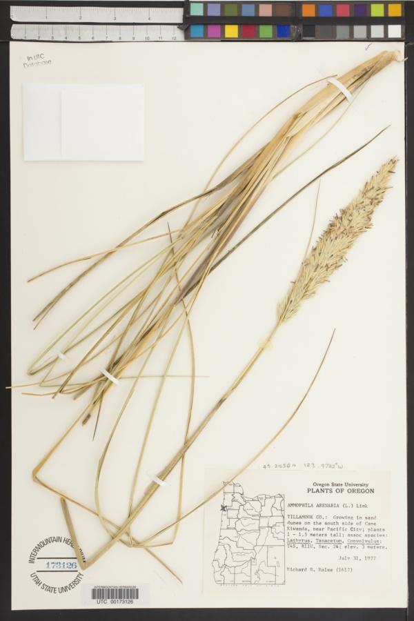 Ammophila arenaria subsp. arenaria image