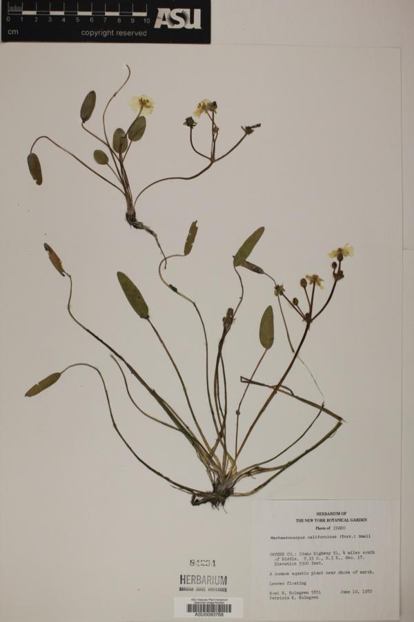 Machaerocarpus californicus image