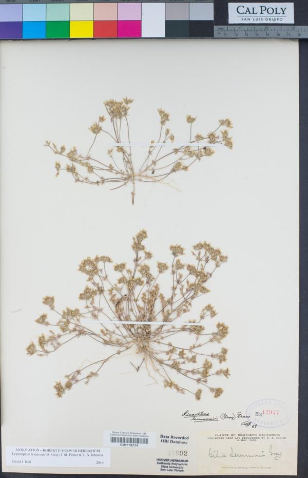 Leptosiphon lemmonii image