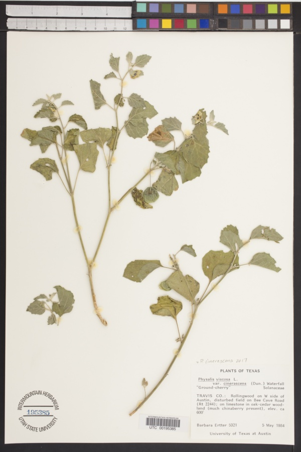Physalis cinerascens var. cinerascens image