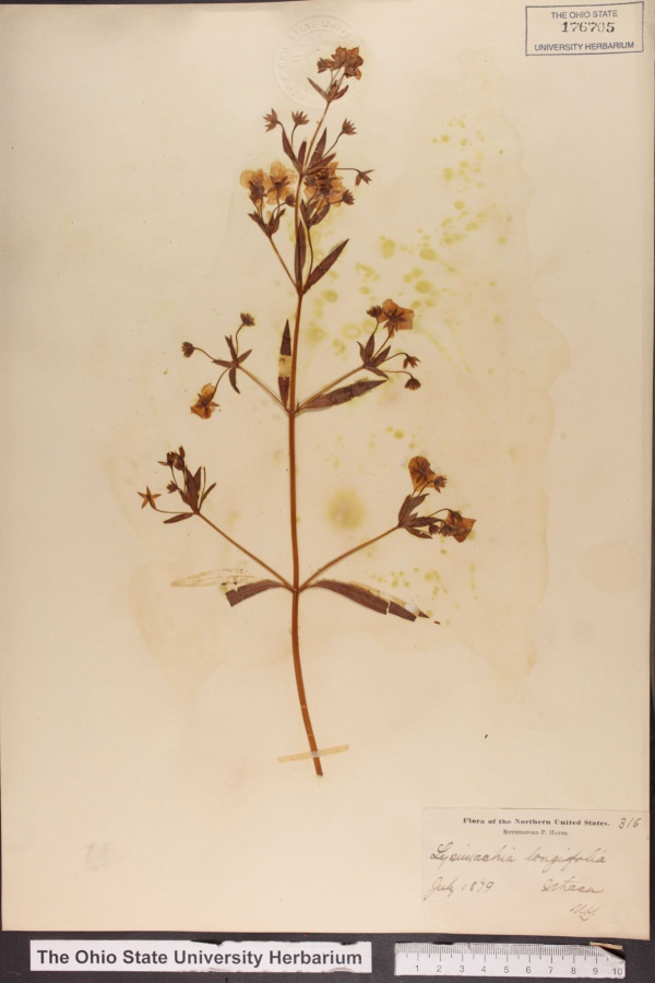 Lysimachia longifolia image