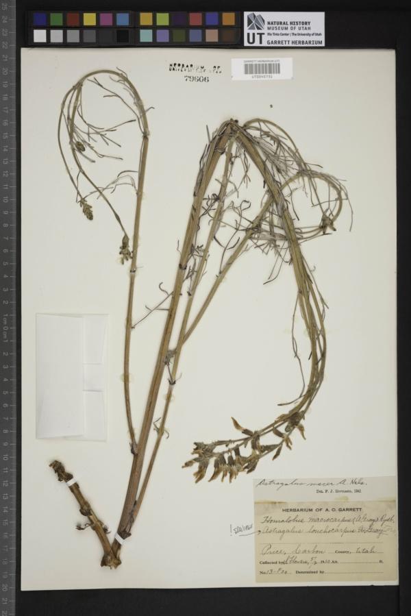 Astragalus macer image