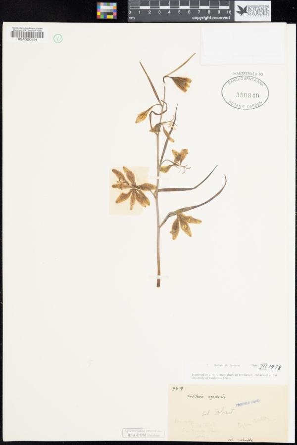 Fritillaria image