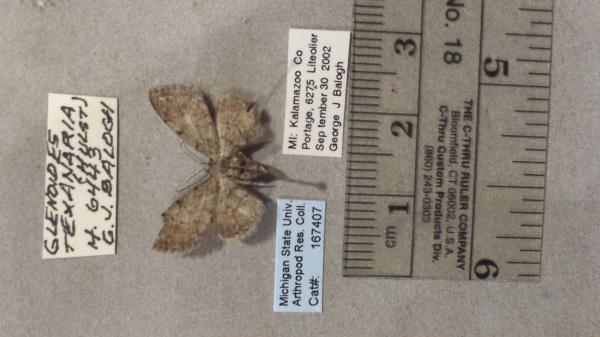 Glenoides texanaria image