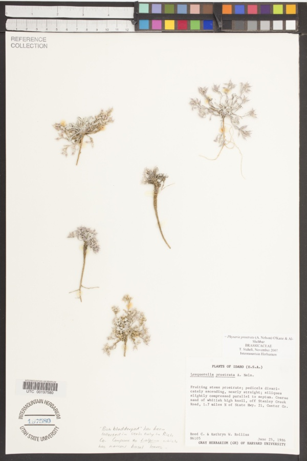 Lesquerella prostrata image