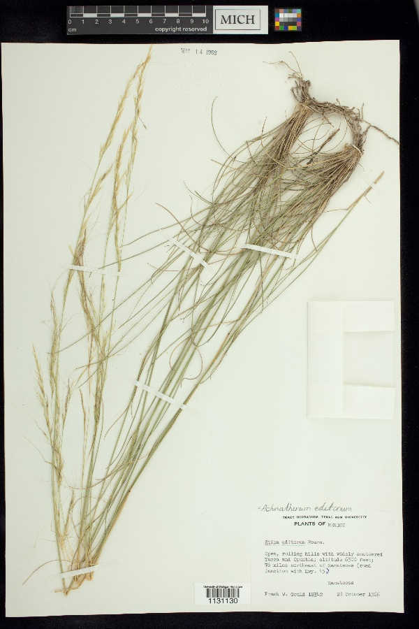 Achnatherum editorum image