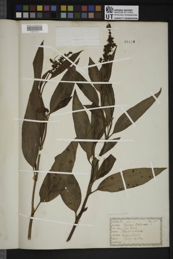 Rumex orbiculatus var. borealis image