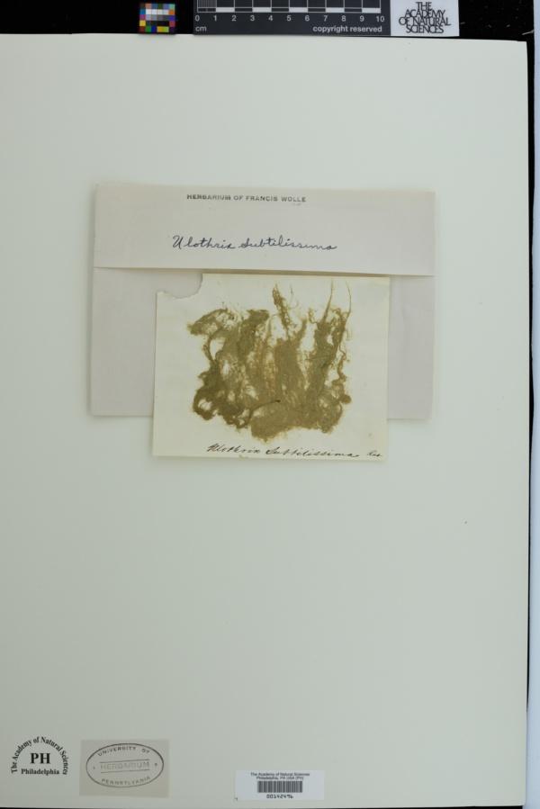 Klebsormidium subtilissimum image