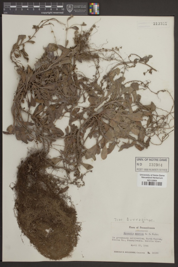 Myosotis azorica image