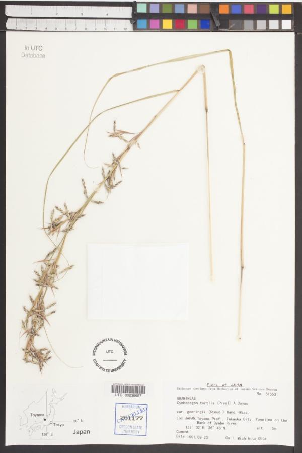 Cymbopogon goeringii image