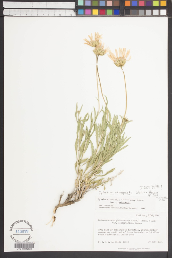 Xylorhiza cronquistii image