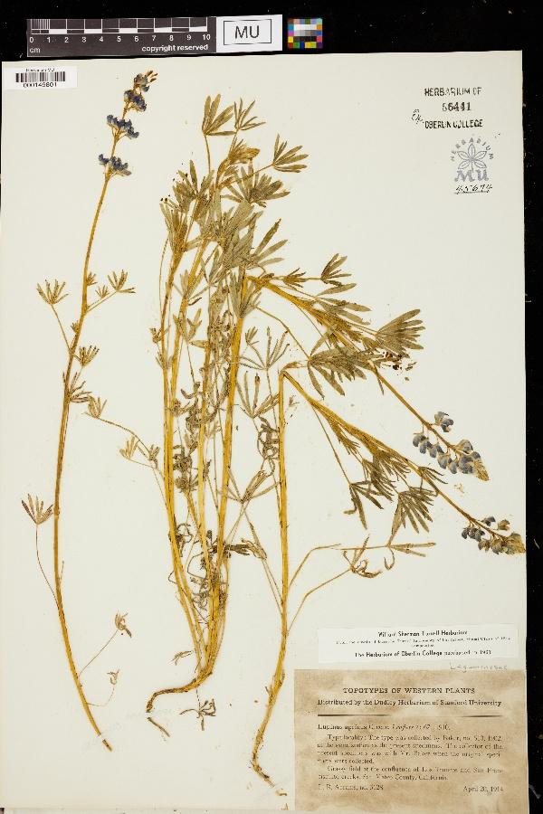 Lupinus apricus image