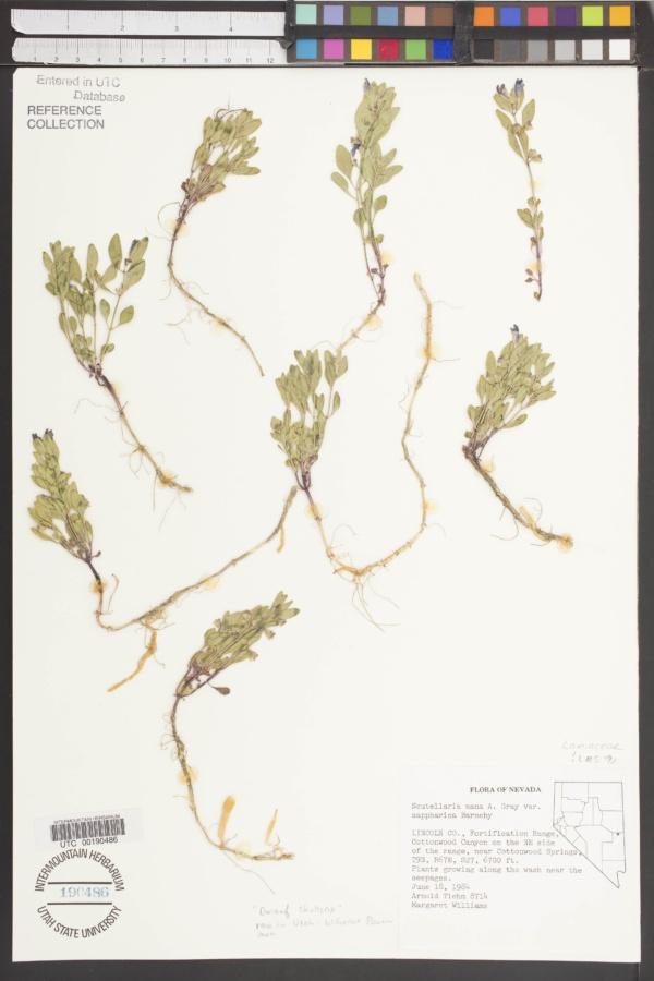 Scutellaria nana var. sappharina image