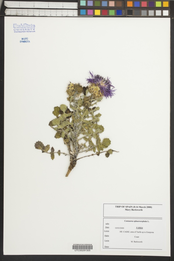Centaurea sphaerocephala image