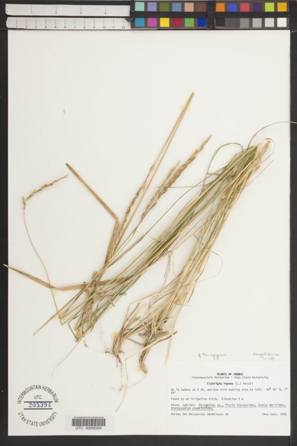 Elymus elongatiformis image