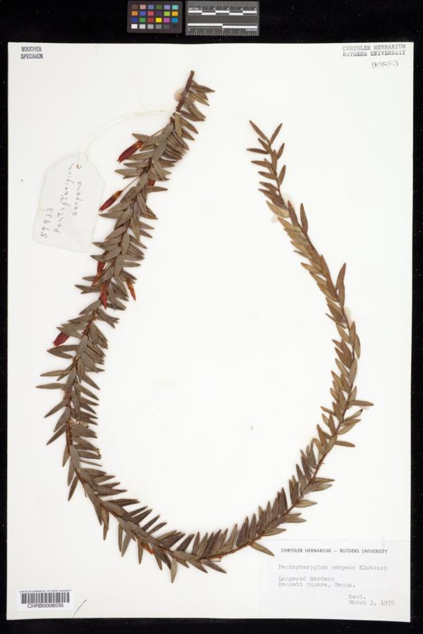 Agapetes serpens image