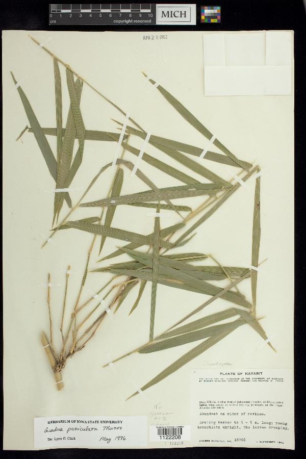 Guadua paniculata image