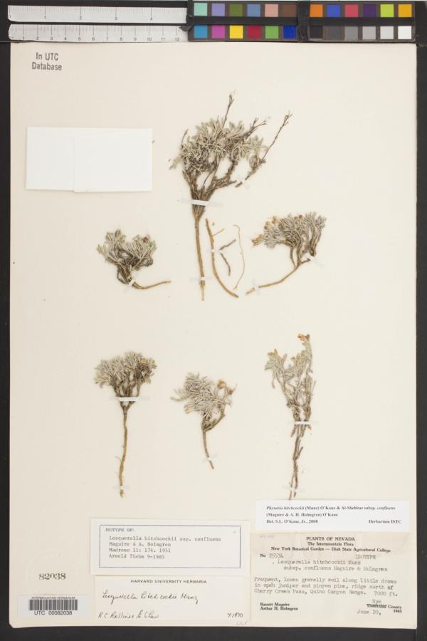 Physaria hitchcockii subsp. confluens image
