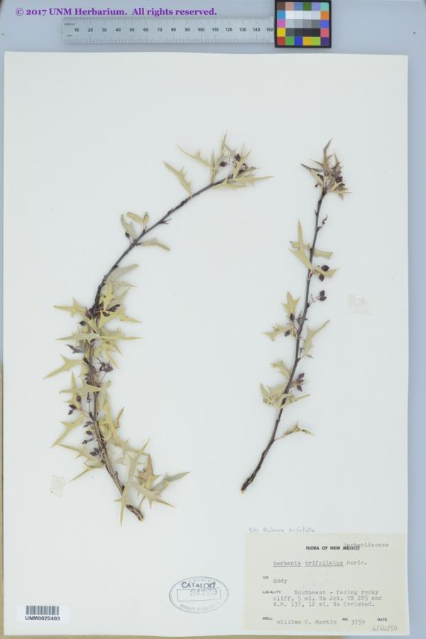 Berberis trifoliata image