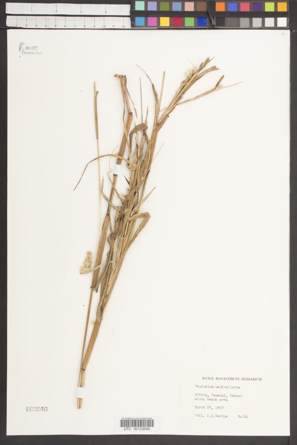 Pennisetum pedicellatum image
