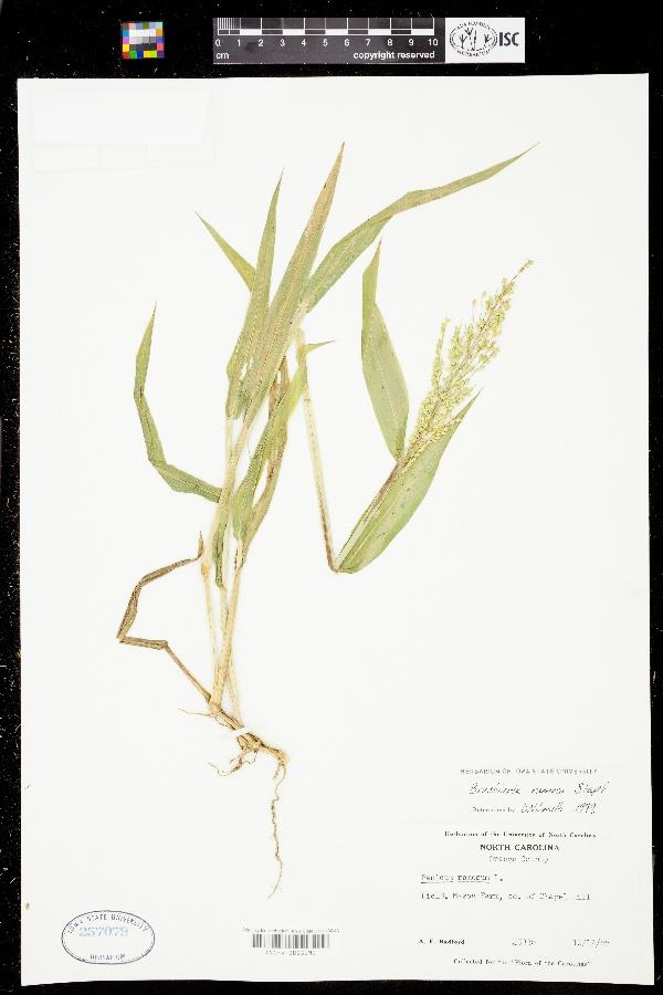 Brachiaria image