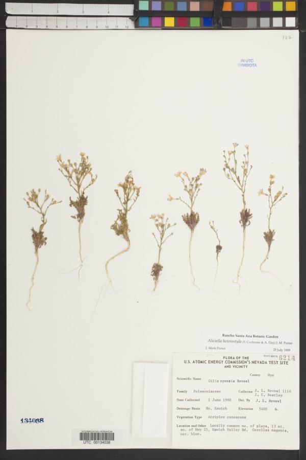 Aliciella heterostyla image