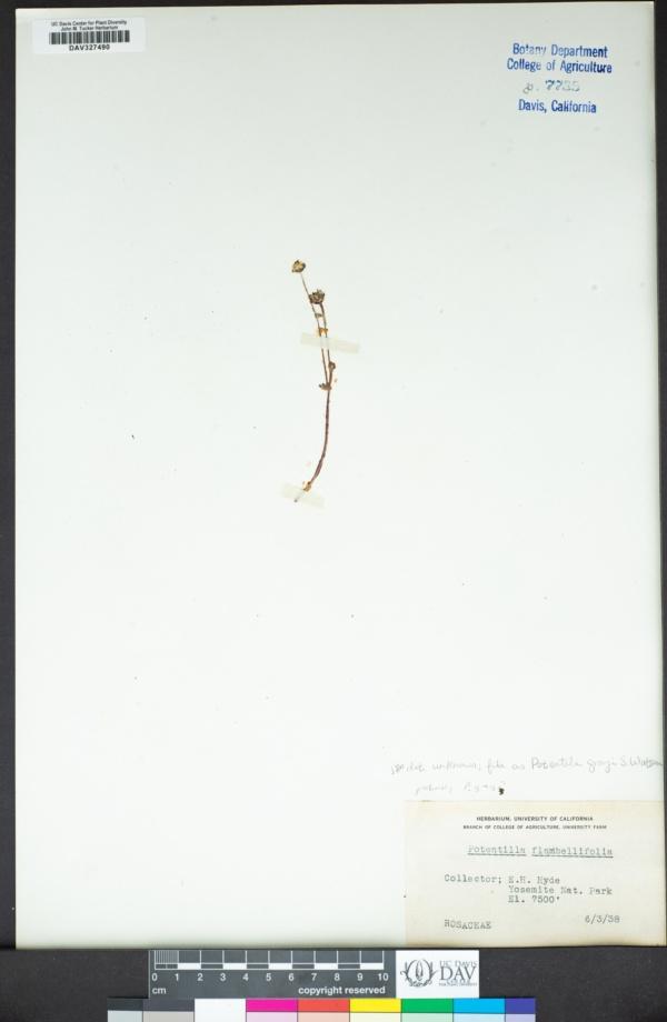 Potentilla grayi image