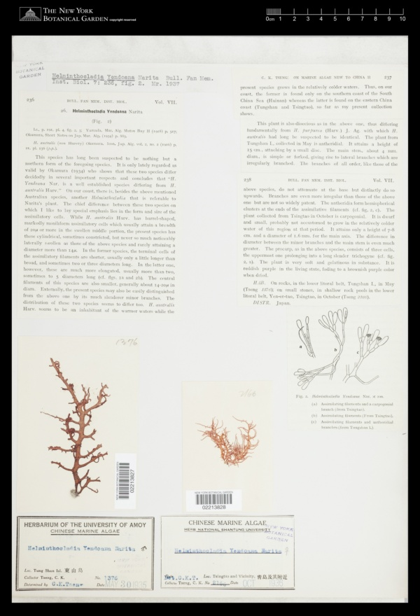 Helminthocladia yendoana image