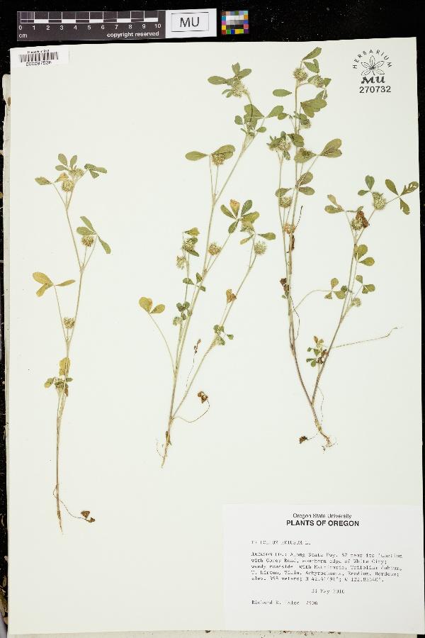 Trifolium retusum image
