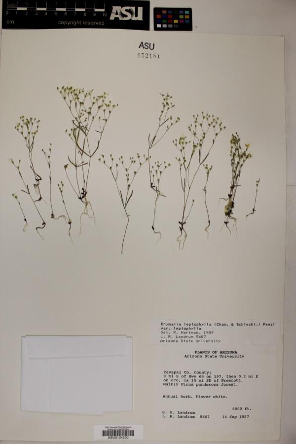 Drymaria leptophylla var. leptophylla image
