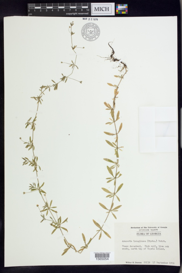 Arenaria lanuginosa var. lanuginosa image