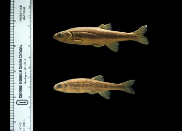 Phoxinus phoxinus image