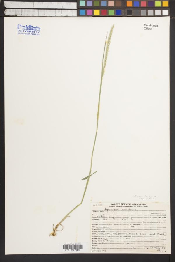 Elymus alaskanus image