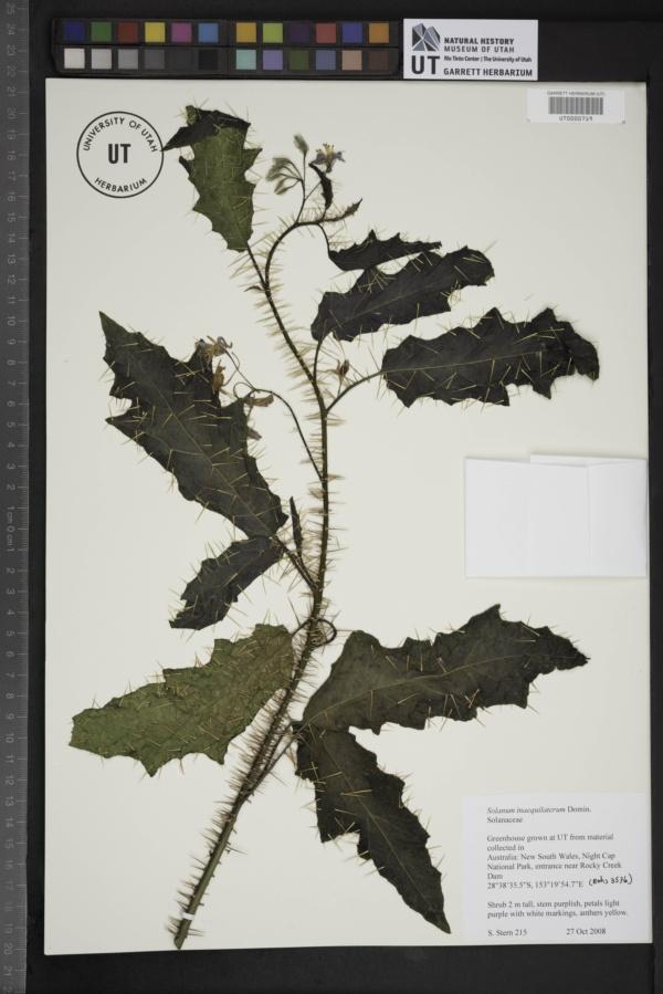 Solanum inaequilaterum image
