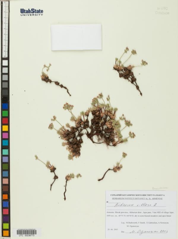Androsace villosa image