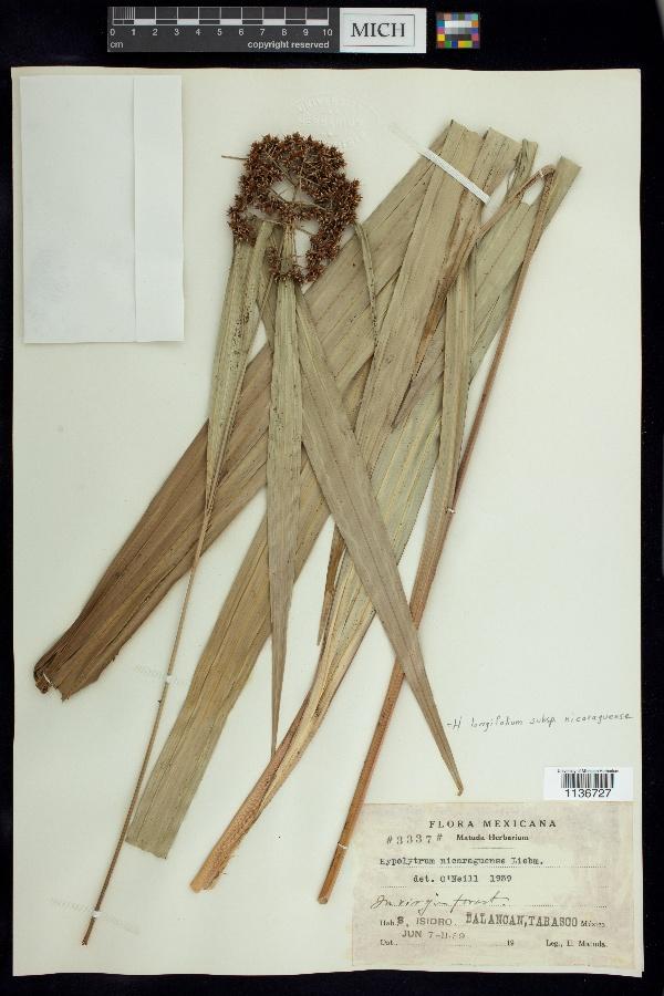 Hypolytrum longifolium subsp. nicaraguense image