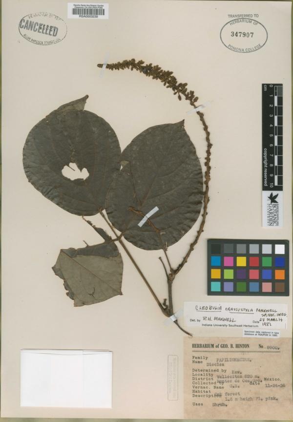 Cleobulia image